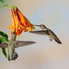 Rufous Hummingbird, Selasphorus rufus, and Black-chinned Hummingbird, Archilochus alexandri, feeding on nectar from Honeysuckle flower.