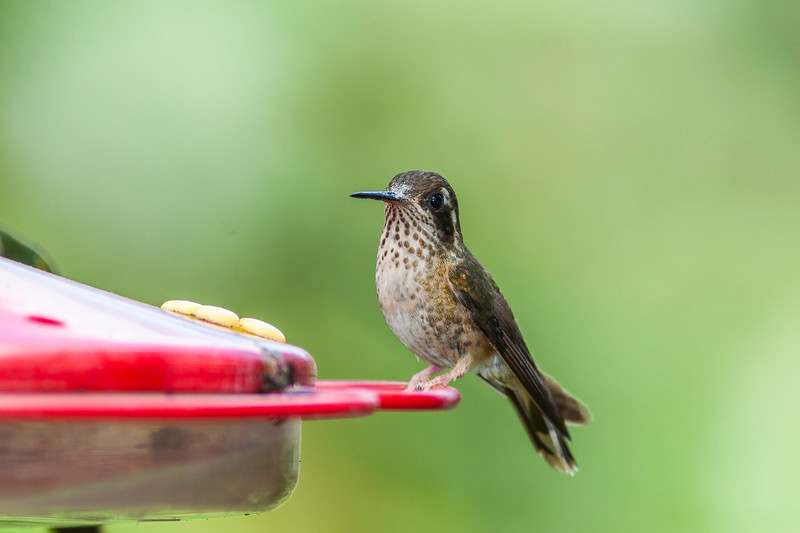 Speckled Hummingbird, Adelomyla melanogenys, found at Bellavista Cloud Forest Preserve in Ecuador