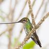 Sword-billed Hummingbird, Ensifera ensifera, at Yanacocha Reserve in Ecuador