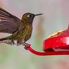 Tourmaline Sunangel hummingbird, Heliangelus exortis, at Guango Lodge in Ecuador