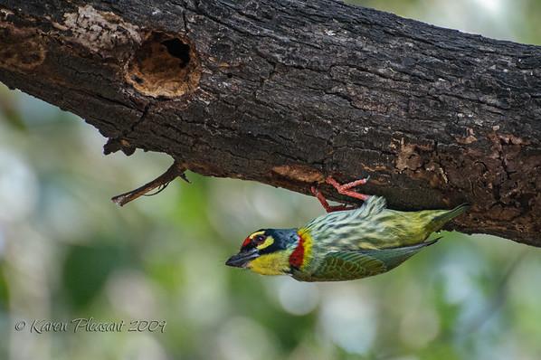 Green Barbet