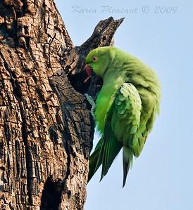 Wild Parakeet