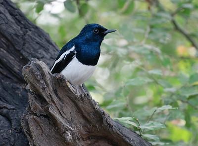 Magpie Robin