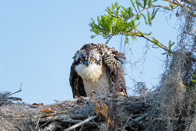 Young osprey on alert