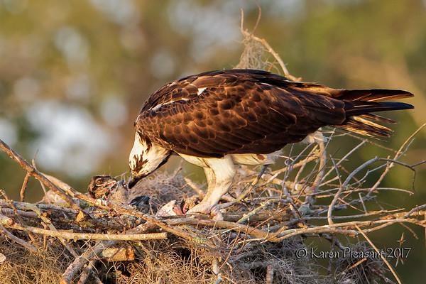 Osprey parent feeding chicks