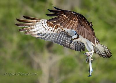 Osprey bringing home dinner