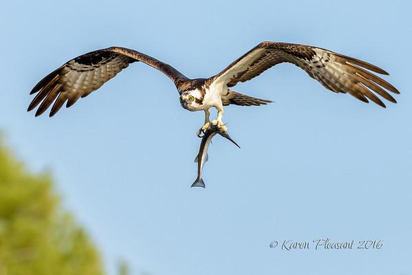 Osprey with garfish
