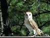 """Buffy"" -- Barn Owl in the beautiful pines of Williams, Arizona"