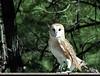 """""""Buffy"""" -- Barn Owl in the beautiful pines of Williams, Arizona"""