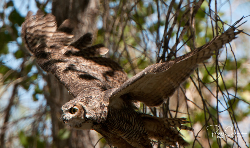 Great-horned Owl--in the wild