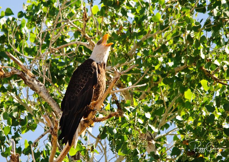 Great American Bald Eagle