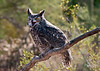 Great Horned Owl, Arizona Sonoran Desert Museum--Raptor Freeflight
