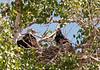 Adult Bald Eagle with juvenile