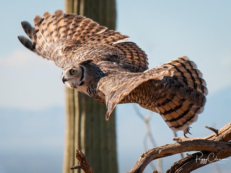 The Matador, Great Horned Owl