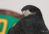 "Black Hawks are making a ""comeback"" in Arizona"