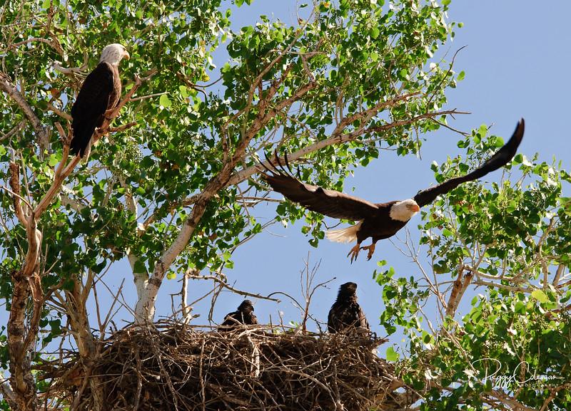 Nesting American Bald Eagles, two juveniles -- Salt River, Arizona