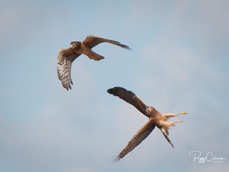 Northern Harriers