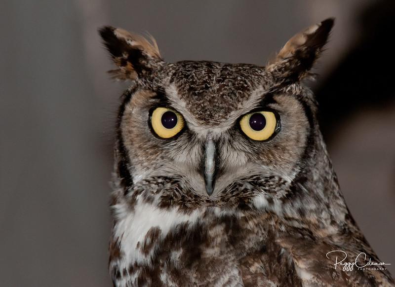 Great Horned Owl - Verde Valley, Arizona