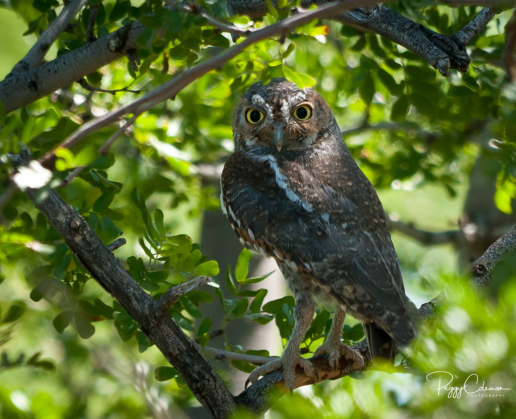Elf Owl (approximately 4-5 inches tall)