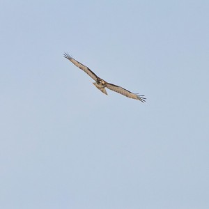 Red Tailed Hawk (Buteo jamaicensis)