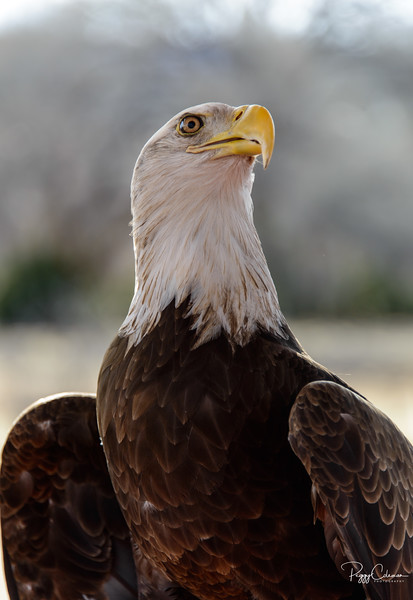 Sonora, A rescued Bald Eagle--