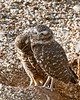 All God's Creatures--the Burrowing Owls