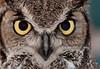 Great Horned Owl - Verde Valley-Arizona