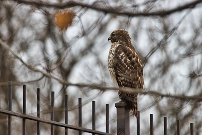 Red Shouldered Hawk (Buteo lineatus)