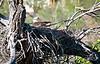 Nesting Bald Eagle - Verde Valley, Arizona