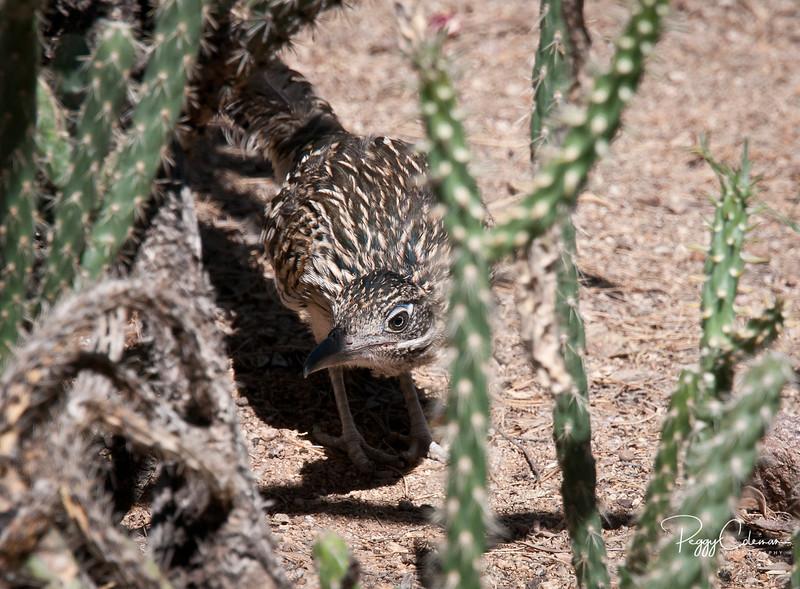 Greater Roadrunner--Juvenile on the hunt!