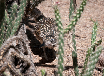 Greater Roadrunner--Juvenile on the hunt!