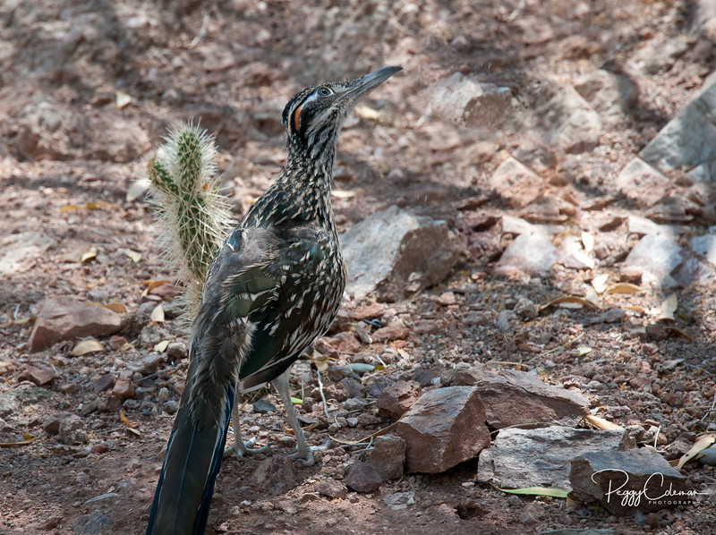 Juvenile, Greater Arizona Roadrunner