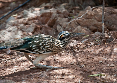 On the Hunt--Juvenile, Greater Arizona Roadrunner