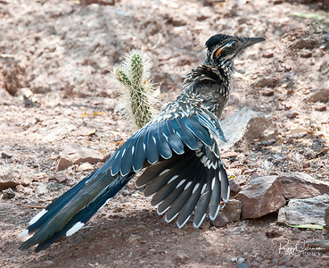 The Fashion Show--Juvenile, Greater Arizona Roadrunner