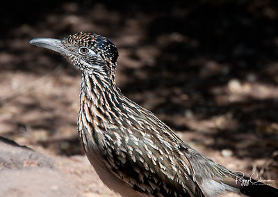 Adult, Greater Arizona Roadrunner
