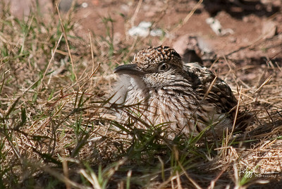 Nesting Greater Roadrunner