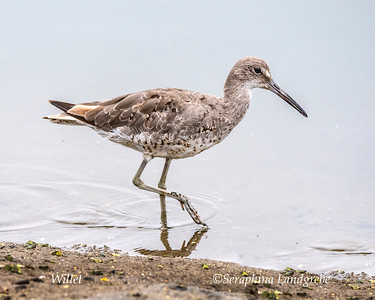 Sandpipers & Allies