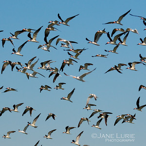 Skimmers and Sky, Kiawah Island