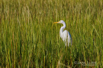 Egret and Marsh Grasses, Kiawah