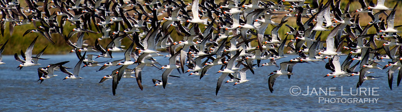 Black Skimmers in Flight, Kiawah Island, SC