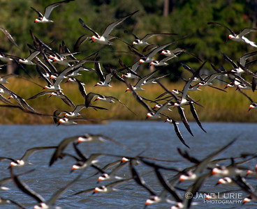 Skimmers and Marsh, Kiawah Island