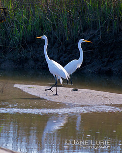 Doing the Egret Shuffle on Kiawah.