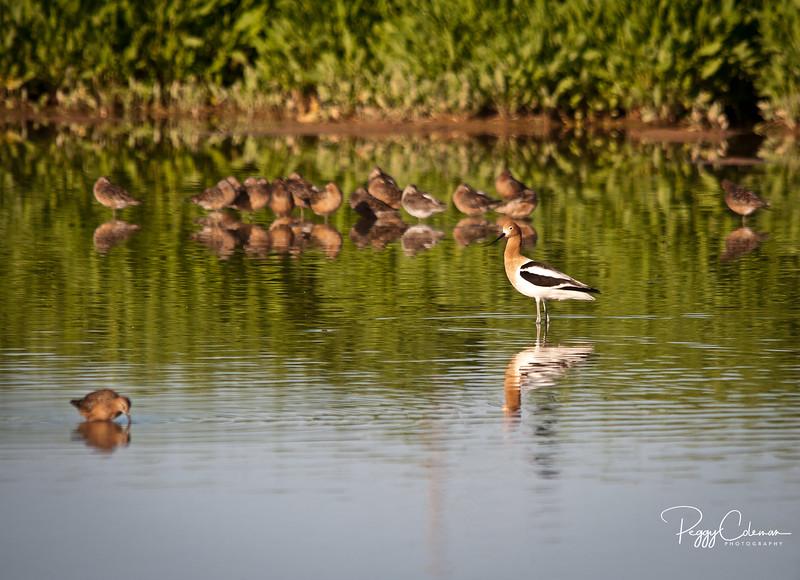 American Avocet and shorebirds