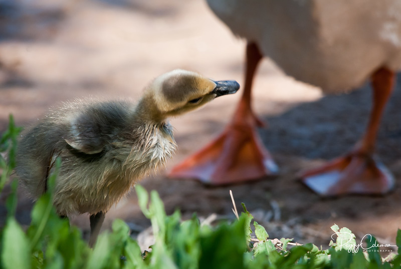 Canada Goose Chick and Mom