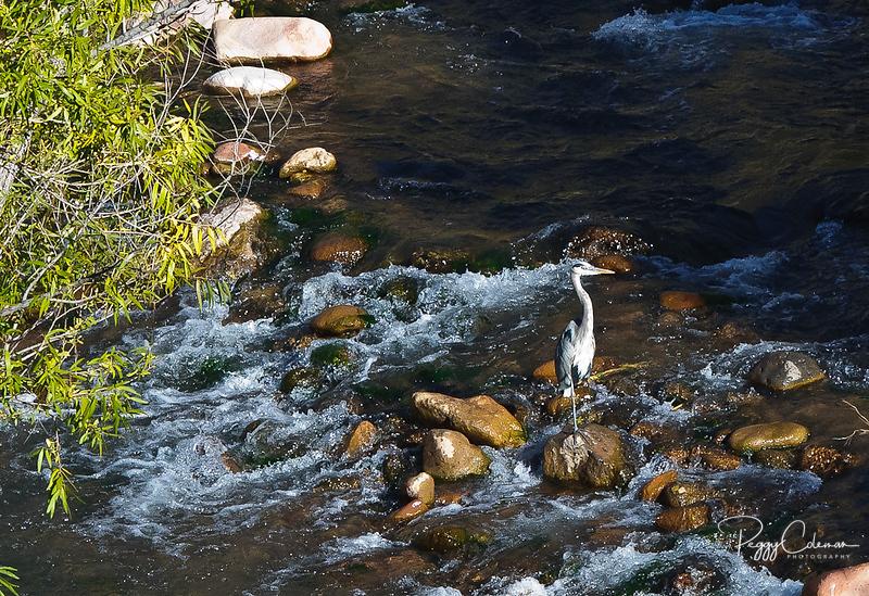 Great Blue Heron, Verde River Arizona
