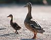 Mallard and Duckling