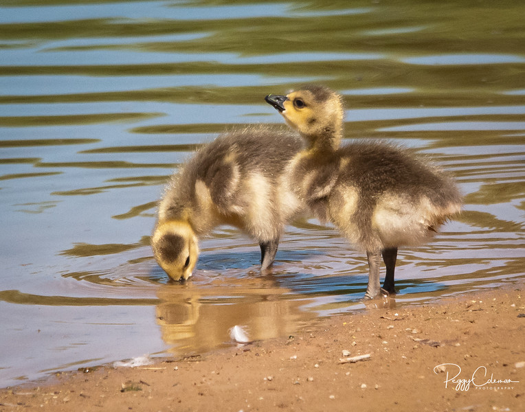 Canada Geese, Chicks