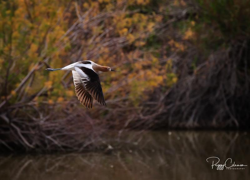 American Avocet, breeding plumage--Gilbert Riparian Preserve at Water Ranch