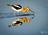 American Avocet--out for a stroll