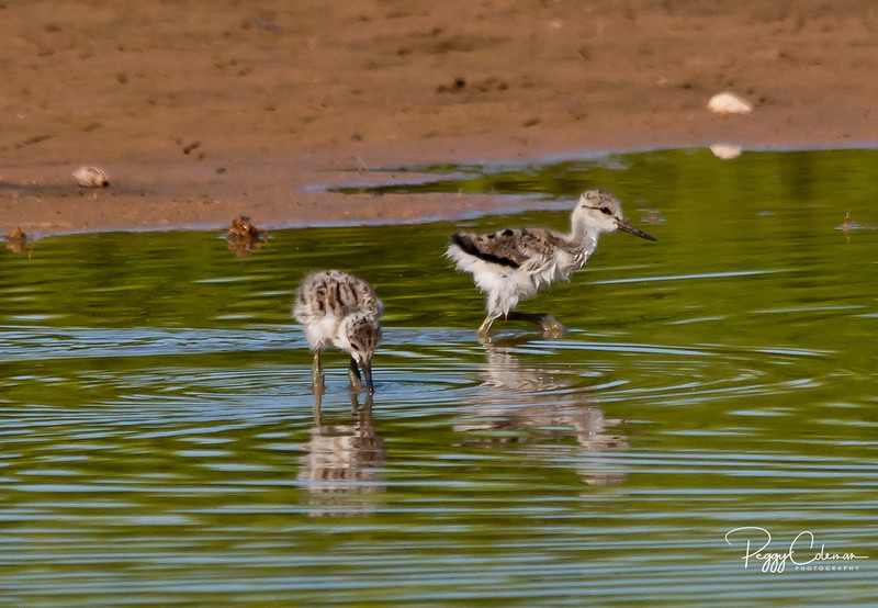Shorebirds & Waterfowl
